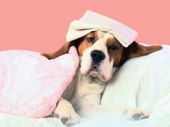 """Hipertermia ou o """"superaquecimento"""" nos cães no calor"""