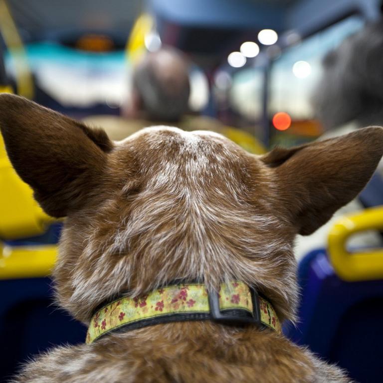 Lei permite que cão e gato possam ser transportados em ônibus