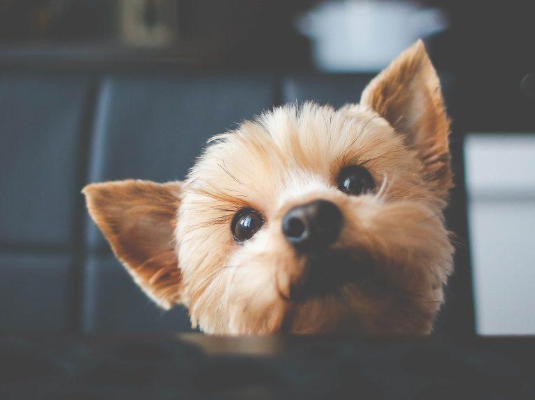 Guia de raças – Cães de pequeno porte