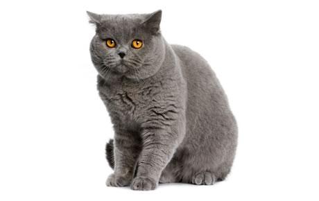 As 10 raças de gatos mais queridas no Brasil