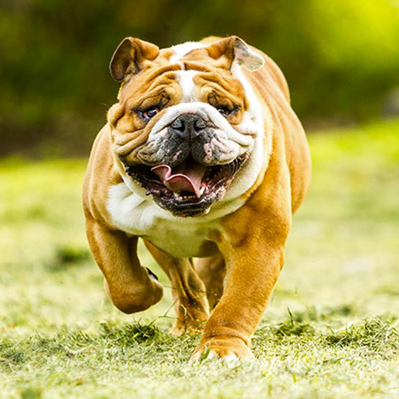 Raças de cães indicadas para crianças